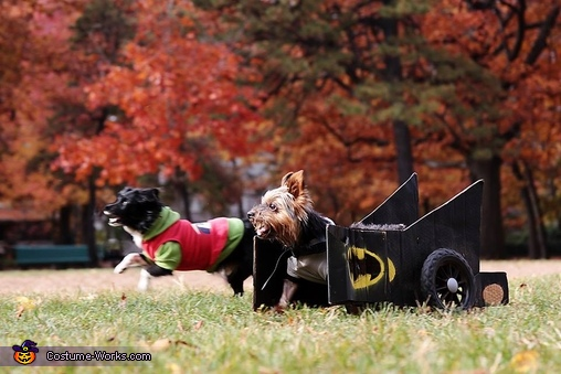 Batman (batdog?) and Robin, Batman in Batmobile Dog Costume