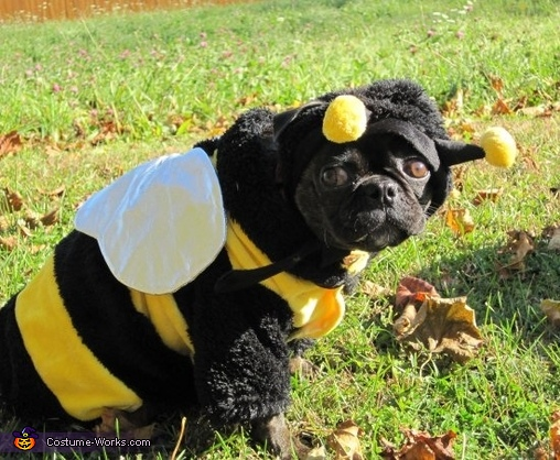Bumble Bug Boston Terrier in a Bumble Bee Costume