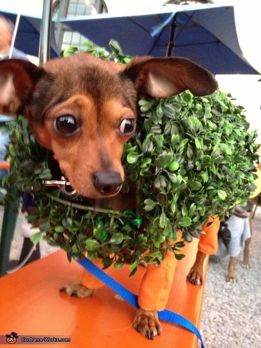 Leo, Chia Chihuahuas Costume