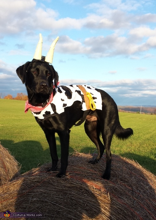Duke the Cow :), Cowgirl and her Pet Cow Costume