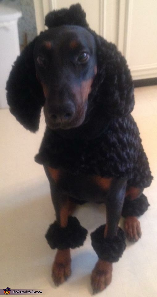 Dober-poodle Costume