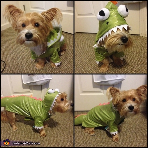 My precious shorkie ready to be a dragon!, Dragon Dog Costume