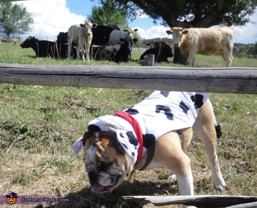 Grazing with the Cows,  Cow Costume