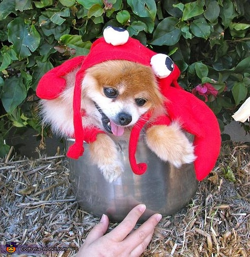 Happy the lobster, Lobster Dog Costume