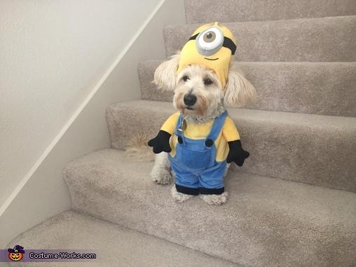 'Am I a dog or am I a Minion?', Minion Dog Costume