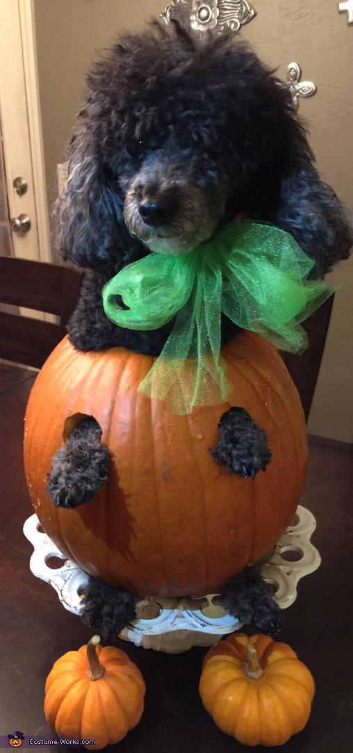 Gigi the pumpkin take 2 model status, Olaf Dog Costume