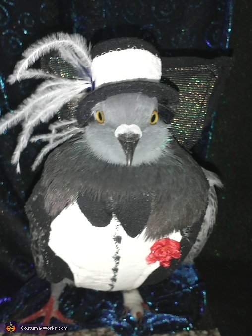 The Amazing Bennie Pet Pigeon wearing his Costume