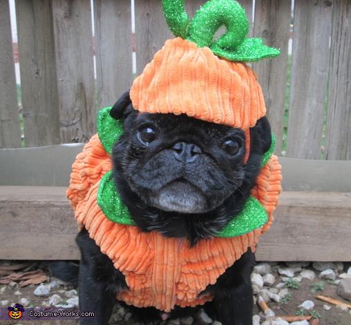 Pumpkin Pug Costume