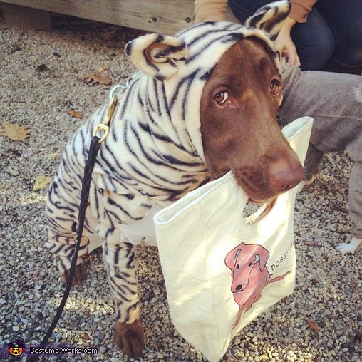 Candy the Tigeradore Retriever Tiger Dog Costume