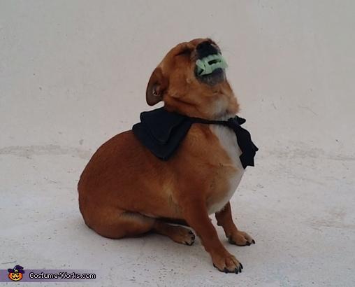 Vampire Pug Homemade Costume