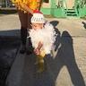 Photo #3 - Baby Chick