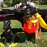 Photo #2 - Bat Dog and Robin