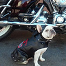 Photo #1 - Biker Frenchie Girl
