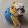 Photo #1 - Bulldog Minion