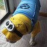 Photo #3 - Bulldog Minion