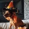 Photo #1 - Candy Corn Witch Dog