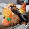Photo #2 - Candy Corn Witch Dog