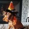 Photo #3 - Candy Corn Witch Dog