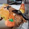 Photo #4 - Candy Corn Witch Dog