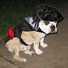 Photo #1 - Captain Jack Sparrow Bulldog