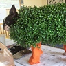Photo #2 - Chia Pet