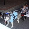 Photo #3 - No more pushing strollers or pulling wagons with these awesome dogs!