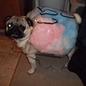 Photo #1 - Cotton Candy Pug