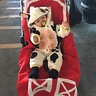Photo #1 - Cow-Stume - Barn stroller