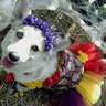 Photo #1 - Pippi-Anna the Corgi's Day of the Dead Costume.