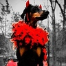 Photo #2 - The Doberdevil!