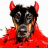 Photo #4 - Jasmine the Doberdevil!