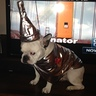 Photo #1 - Tin Man Frenchie 1