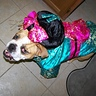 Photo #1 - Annabelle, the Geisha Bulldog