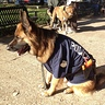 Photo #2 - German shepherd police dog -1
