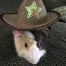 Photo #1 - Giddyup Guinea Pig