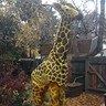 Photo #3 - Giraffe