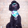 Photo #2 - Hippy Standard Poodle
