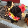 Photo #3 - Hawaiian Dog