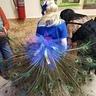 Photo #2 - India Blue Peacock
