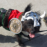 Photo #1 - Murdock as Leif Erikkson the viking and walking in a Halloween pet parade in Long Beach, CA