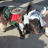 Photo #3 - Murdock as Leif Erikkson the viking and walking in a Halloween pet parade in Long Beach, CA