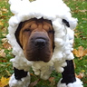 Photo #2 - Lilly the Shar Pei Sheep