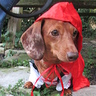 Photo #2 - Little Red Riding Hound preparing for another adventure!