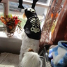 Photo #10 - Phoebe as Bag-o-Bones (pet pic)