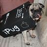 Photo #1 - Mugsey the iPug