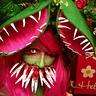 Photo #1 - Mutant Venus Flytrap