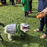 Photo #2 - Doc at the Abington MA Dog Park Costume Contest