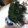Photo #2 - Peacock