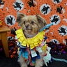 Photo #8 - Tiny at a Halloween party in Roswell, GA
