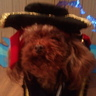 Photo #3 - Dempsey - Poodle Pic 1